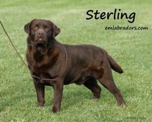 Sterling- Endless Mt. Labradors