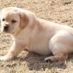 yellow female pup- Endless Mt. Labradors