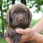 Erica pup- Endless Mt. Labradors
