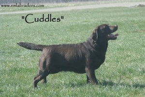 Cuddles - Endless Mt. Labradors