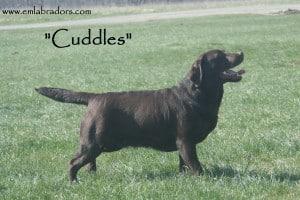 Cuddles - Endless Mt. Labradors