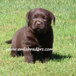 Evie pup- Endless Mt. Labradors