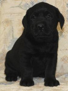 black female pup- Endless Mt. Labradors
