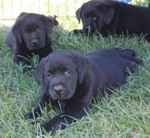 black females pups- Endless Mt Labradors