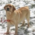 Lana - (Romeo x Linen) - Endless Mt. Labradors
