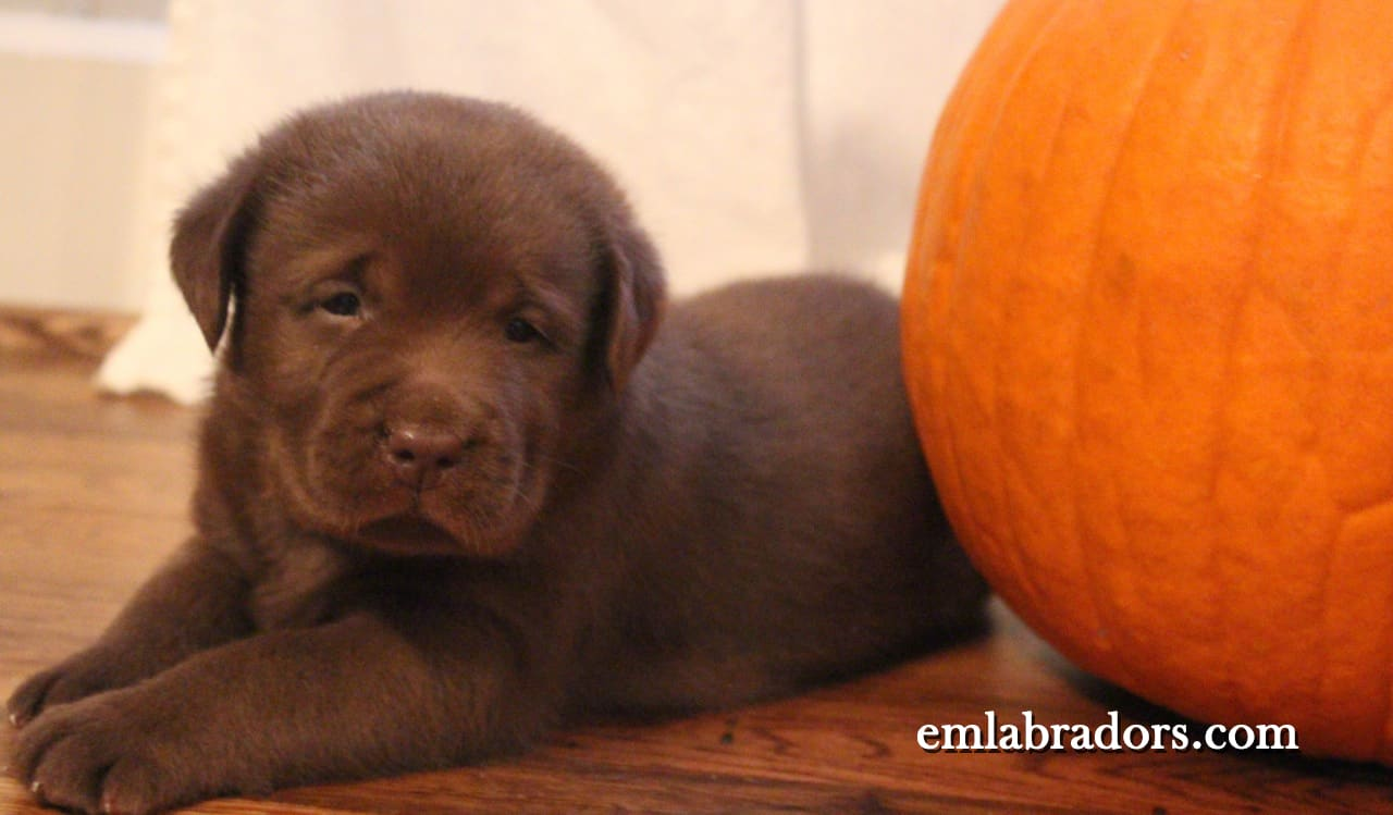 Why Pumpkin Is The Perfect Treat For Your Dog Endless