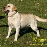 Maggie - Endless Mt. Labradors