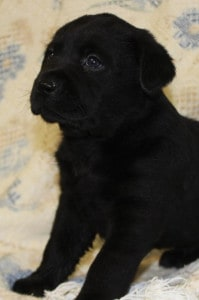 black male pup- Endless Mt. Labradors