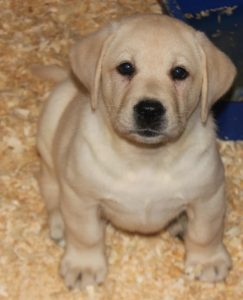yellow male pup- Endless Mt. Labradors