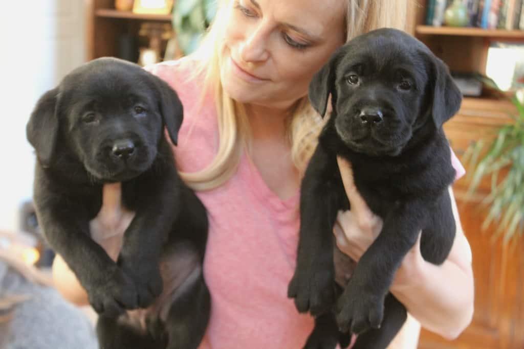 black lab pups- Endless Mountain Labradors