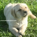 Romeo pup- Endless Mt. Labradors