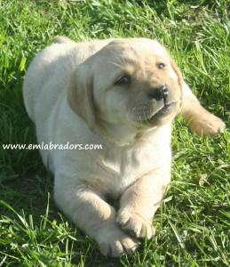 Romeo pup- Endless Mt. Labradors
