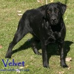 Velvet- Endless Mt. Labradors