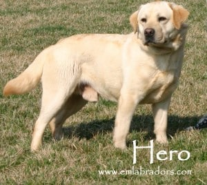 Hero- Endless Mountain Labradors