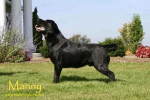 Manny- Endless Mountain Labradors