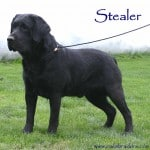 Stealer-Endless Mt. Labradors