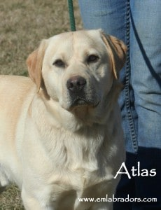 Atlas - Endless Mt. Labradors