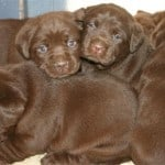 chocolate puppies- Endless Mt. Labradors
