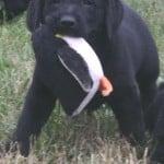 Jolene x STealer pup- Endless Mt. Labradors
