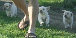 Paige pups - Endless MT. Labradors