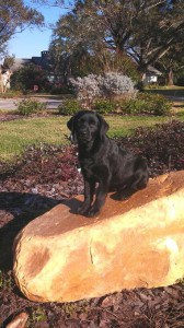 Abbey (Erica/Mackie)- Endless Mt. Labradors small size