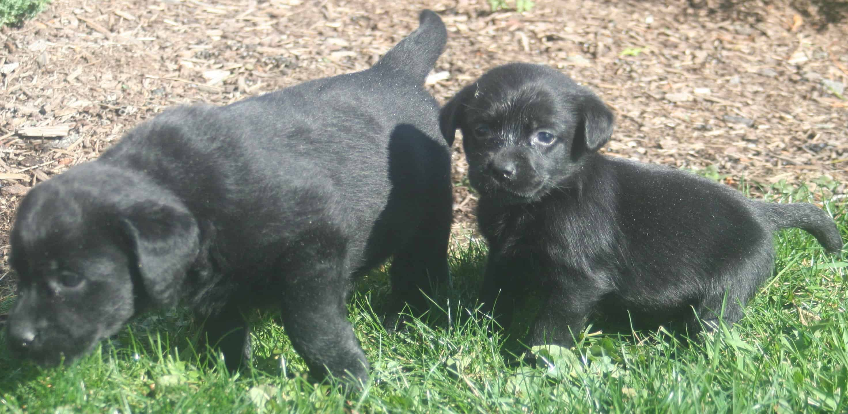 Erica Mackie Pups Endless Mt Labradors Good Size