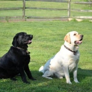 Dock and Reina- Endless Mt. Labradors