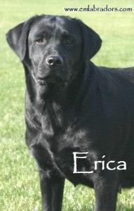 Erica- Endless Mt. Labradors - good size