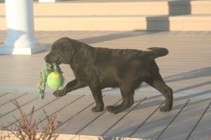 Puppy carrying toy- Endless Mt. Labradors