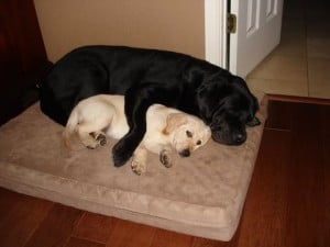 Big dog little dog- Endless Mt. Labradors