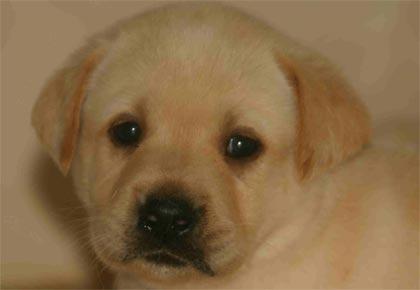 When should I spay-neuter my puppy? – Endless Mountain Labradors