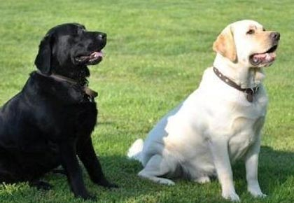 black and yellow labradors
