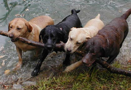 labs playing in water