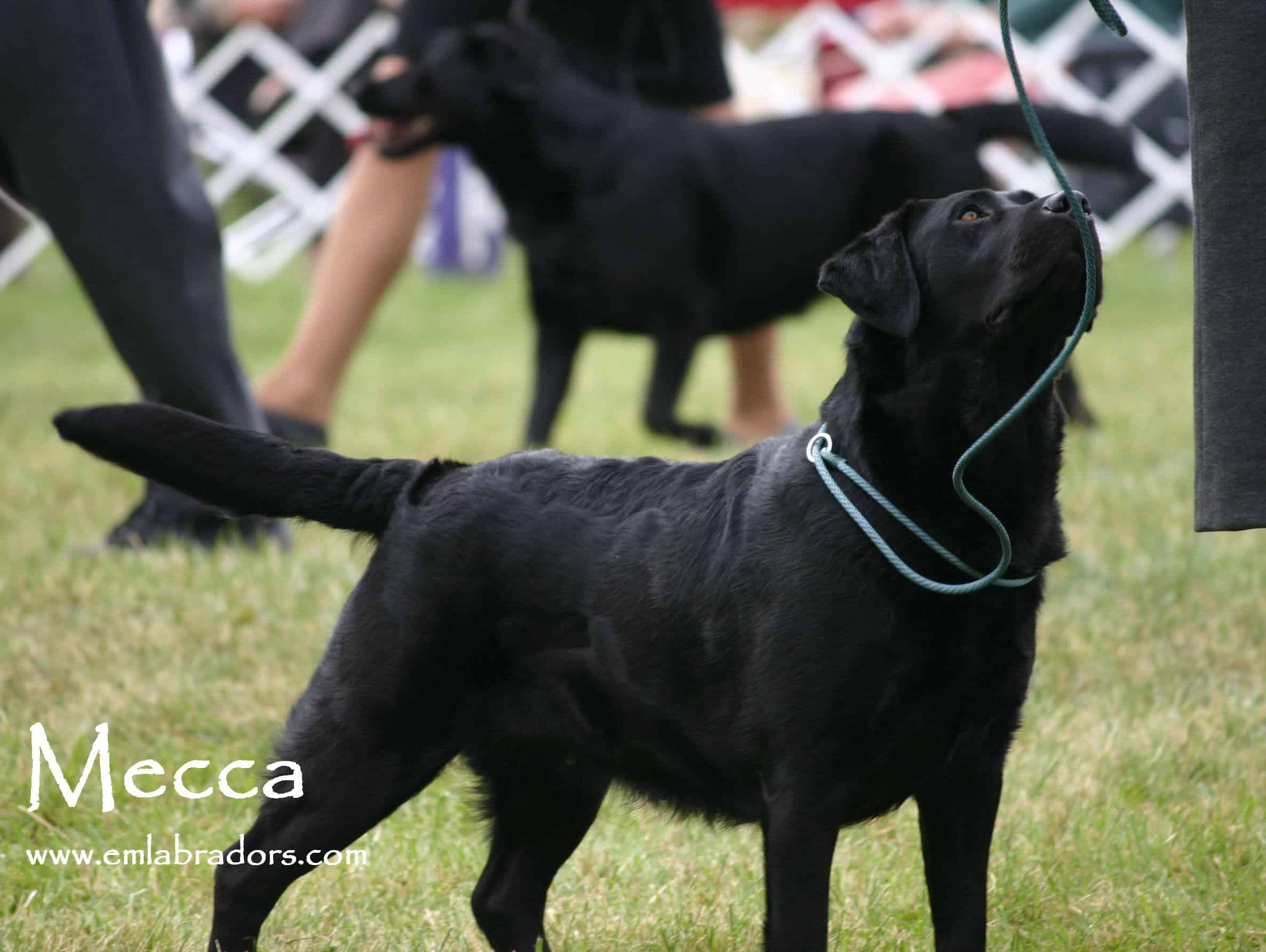 Upcoming Litters – Endless Mountain Labradors