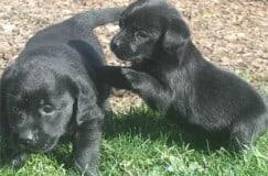 small size black labrador puppies