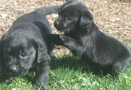 small size black labrador puppies