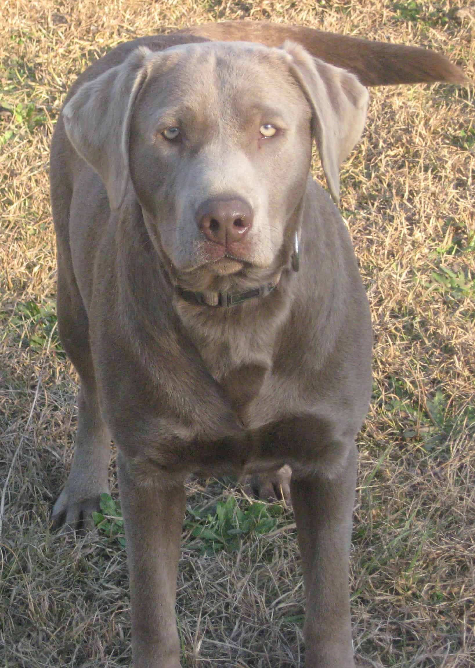 Learn the SHOCKING truth about Silver Labradors!!! – Endless
