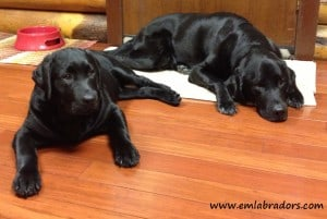 Chip and Amos- Endless Mt. Labradors