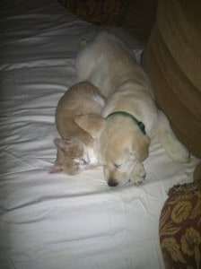 Goose and his kitten- Endless Mt. Labradors