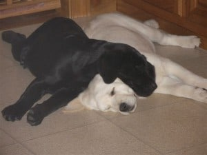 Yin and Yang- Endless Mt. Labradors