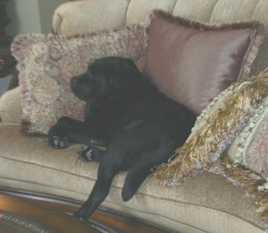 Sweet old Doc napping on the couch here at Endless Mt. Labradors
