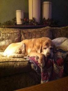Old dog sleeping- Endless Mt. Labradors