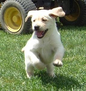 running pup- Endless Mt. Labradors