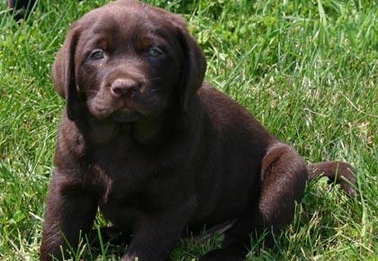 Cancer in Labradors- chocolate labrador puppy