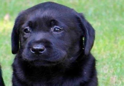 black labrador- dog poo