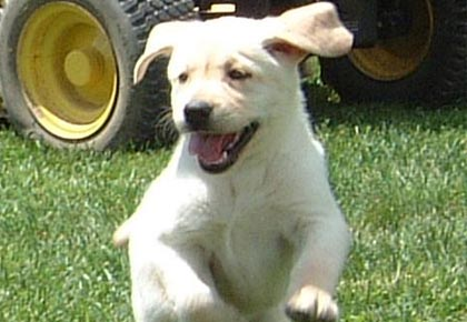 labrador with habit of jumping - labrador crate training