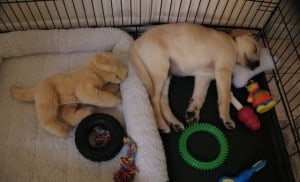 Sleeping pup- Endless Mt. Labradors