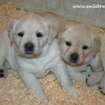 Amy pups- Endless Mt. Labradors