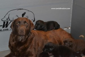 Elise and pups- Endless Mt. Labradors