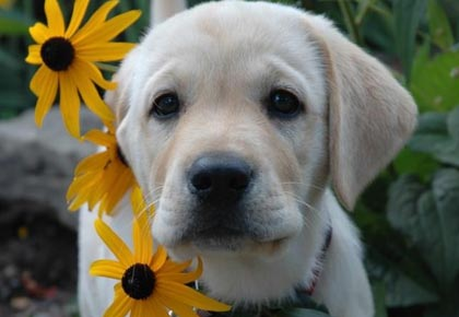 english labrador with flowers